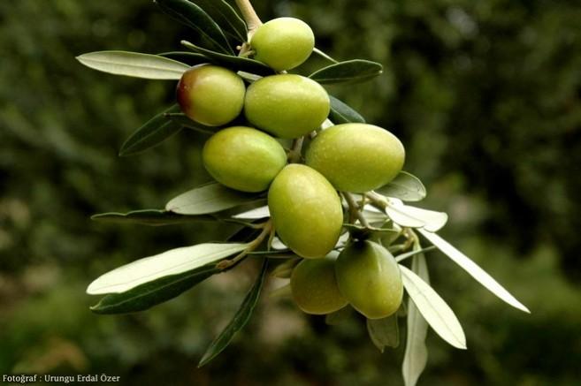 Sofralık zeytin ihracatına yeşil zeytin damga vurdu